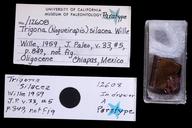 Trigona silacea