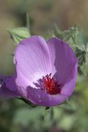 Eremalche parryi ssp. parryi