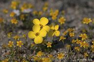 Camissonia californica