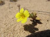 Diplacus vandenbergensis