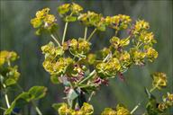 Euphorbia lucida