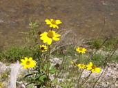 Heliopsis parvifolia