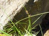 Juncus orthophyllus