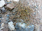 Euphorbia parishii