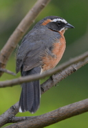 Black And Rufous Warbling Finch