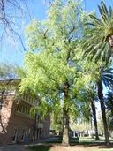 Populus fremontii ssp. mesetae