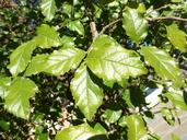 Ehretia anacua