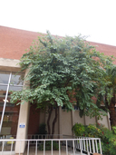 Bauhinia variegata ssp. variegata