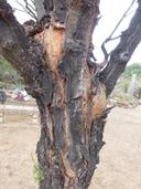 Vachellia farnesiana var. farnesiana
