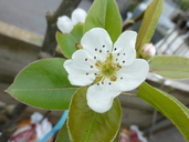 Pyrus communis x pyrus pyrifolia