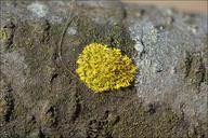Candelaria concolor