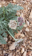 Cymopterus purpurascens