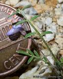 Astragalus nuttallianus var. cedrosensis