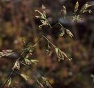 Poa leptocoma ssp. leptocoma