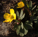 Ranunculus glaberrimus var. glaberrimus