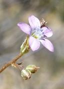 Gilia mexicana