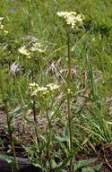 Senecio integerrimus var. ochroleucus