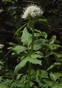 Valeriana sitchensis ssp. sitchensis