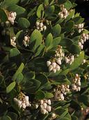 Arctostaphylos manzanita ssp. glaucescens