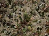 Cercocarpus ledifolius var. ledifolius