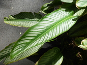 Pin-striped Calathea