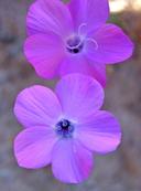 Gilia latiflora ssp. elongata