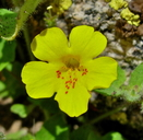Erythranthe floribunda