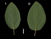 Arctostaphylos manzanita ssp. roofii