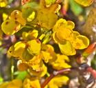 Berberis pinnata ssp. pinnata