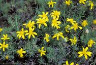 Nestotus stenophyllus