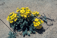 Erysimum menziesii ssp. yadonii