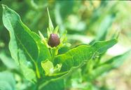 Rudbeckia occidentalis var. occidentalis