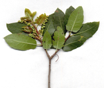 Quercus wislizeni