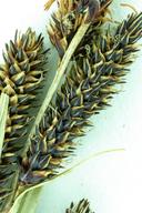 Carex nebrascensis
