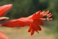 Epilobium canum ssp. canum
