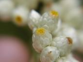 Pseudognaphalium californicum