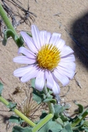 Dieteria canescens