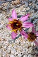 Nicolletia occidentalis