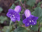 Phacelia minor