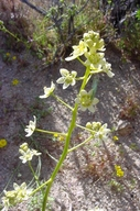 Toxicoscordion brevibracteatum
