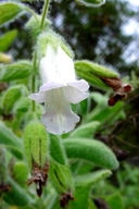 Lepechinia fragrans