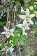 Marah macrocarpus