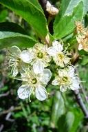 Prunus emarginata