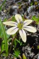 Triteleia ixioides ssp. scabra