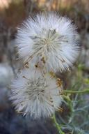 Senecio flaccidus