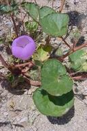 Eremalche rotundifolia