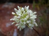 Allium munzii