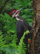 Dryocopus pileatus