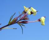 Triphysaria eriantha