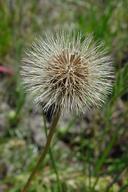 Microseris douglasii ssp. tenella